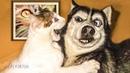 СМЕШНЫЕ ЖИВОТНЫЕ 😂 ЛУЧШИЕ ПРИКОЛЫ 2020! Смешные видео - Смешные коты приколы с котами до слез 4