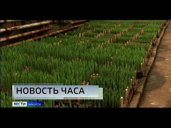 Иркутский «Горзеленхоз» наращивает мощности и заявил, что следующему 8му марта предложит горожанам