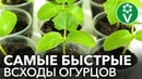 ОГУРЦЫ ВЗОЙДУТ НА ТРЕТИЙ ДЕНЬ! Все что нужно знать о выращивании рассады огурцов