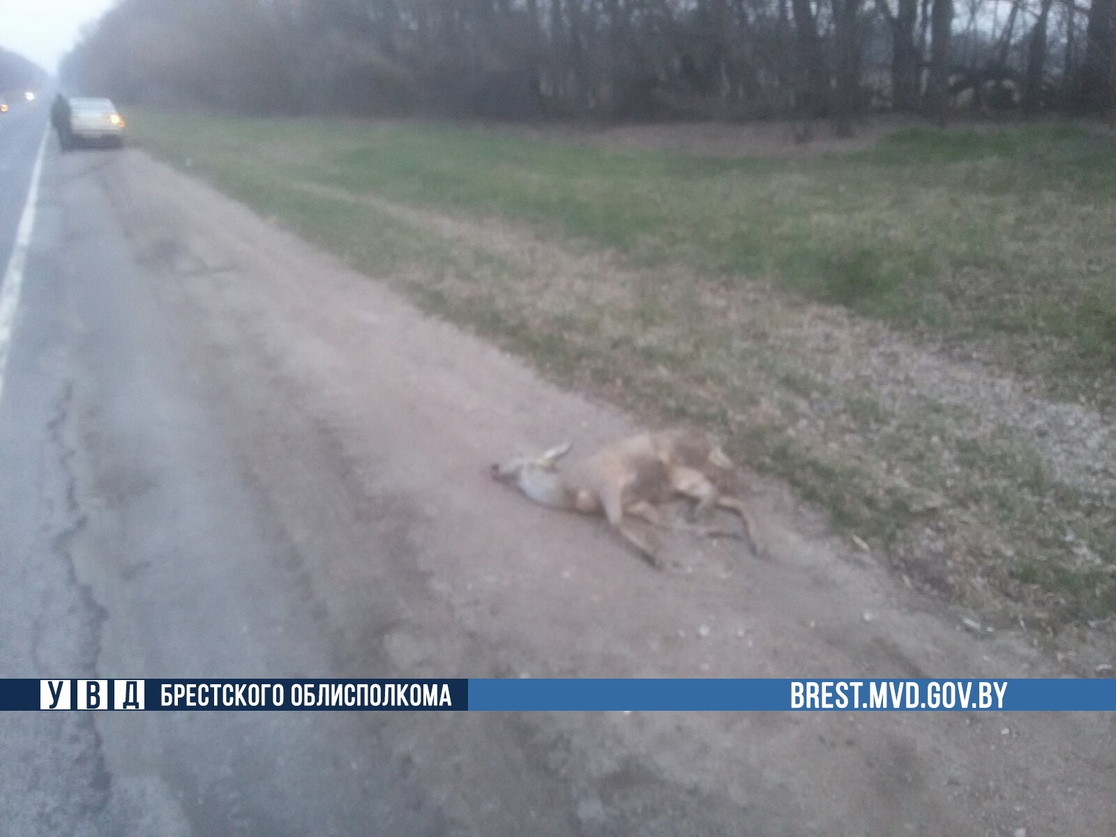 В Ляховичском районе автомобиль «Ситроен» столкнулся с косулей
