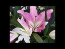 Откройте «Лотос» как почувствовать свои чакры. . Open Lotus How To Feel Your Chakras.