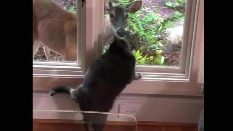 L'amicizia speciale fra un gatto e il cervo ai tempi del coronavirus
