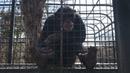 Шимпанзе любитель ЗОШ и его некультурный сосед Chimpanzee and its uncivilized neighbor