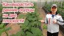Попробуйте такое выращивание ранних огурцов в теплице- отличный результат!