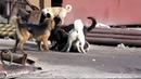 Драки собак жестокие