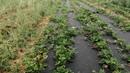 Клубника на агроткани спанбонде или соломе,что лучше Мой горький опыт.