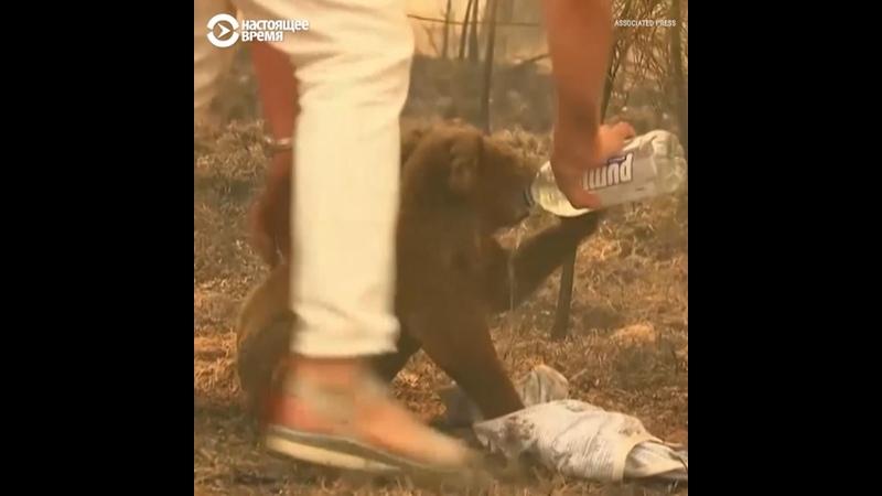 Женщина спасла коалу из лесного пожара