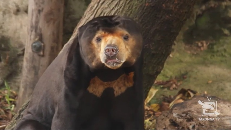 Sun Bear Mr Hobbs' celebrates his 25th birthday Taronga Zoo Sydney