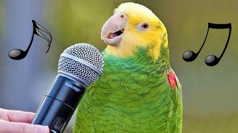 Смешные птички поют, танцуют и имитируют звуки. Попугаи лаят, мяукают, подражают детям, телефоны и сирены. Видео.
