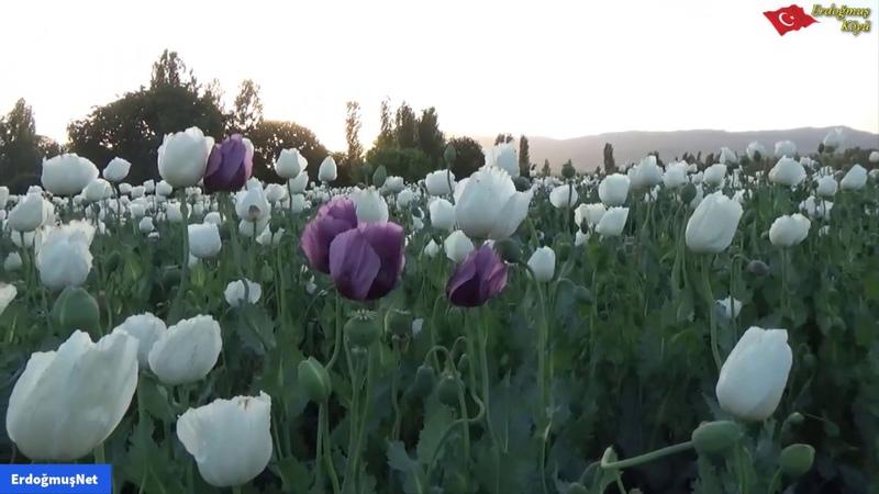 Haşhaş Üretimi , Haşhaş Çiçeği , Haşhaş Tarlası , Haşhaş Yetiştiriciliği