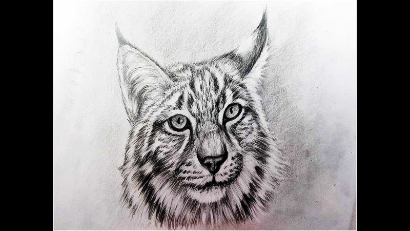 Как нарисовать рысь карандашом поэтапно рисуем спереди голову рыси