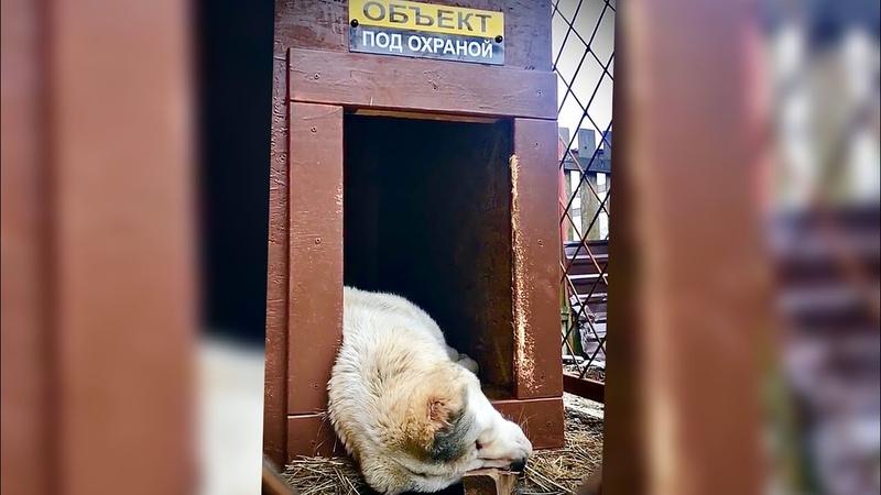ЛУЧШАЯ ОХРАННАЯ ПОРОДА собак АЛАБАЙ Собака для охраны ALABAI SECURITY DOG Guard dog
